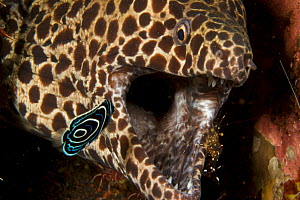Honeycomb moray eel (Gymnothorax favagineus) with mouth open, being cleaned by cleaner shrimp and a juvenile Emperor angelfish (Pomacanthus imperator), Bali, Indonesia  -  Tim Laman