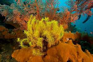 A yellow feather star crinoid growing from a sponge in front of a gorgonian sea fan. Bali, Indonesia.  -  Tim Laman