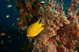 Golden damselfish (Amblyglyphidodon aureus) in front of a seafan growing from part of the wreck of the ship Liberty, Tulamben, Bali, Indonesia. - Tim Laman