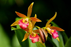 Hybrid cultivated orchid variety in Singapore Botanic Garden. - Tim Laman