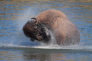 American bison (Bison Bison) shaking its head to remove excess water, Yellowstone river, Hayden Valley, Wyoming, USA - Charlie Summers