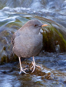 Portrait of an American Dipper / Water Ouzel (Cinclus mexicanus) standing on a rock in a fast flowing river, Gardner River, Yellowstone National Park, Montana, USA, North America  -  Charlie Summers