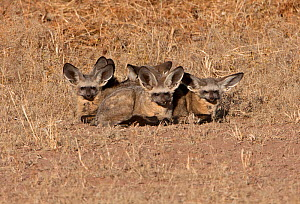 Bat-eared fox (Otocyon megalotis) family huddled together to retain heat. Kgalagadi TB Park, South Africa - Charlie Summers