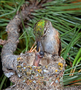 Broad-tailed hummingbird (Selasphorus platycercus) feeding young chick at nest,  Douglas County, Colorado, USA, North America  -  Charlie Summers