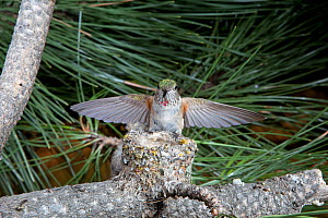 Broad-tailed hummingbird (Selasphorus platycercus) arriving / departing nest. Douglas County, Colorado, USA, North America  -  Charlie Summers