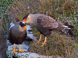 Pair of Northern Crested caracara (Caracara cheriway) courtship preening, Saunders Island, Falkland Islands  -  Charlie Summers