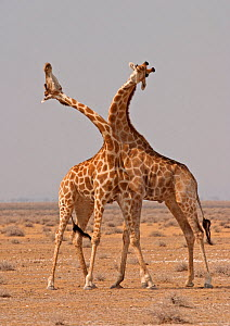 Two Giraffes (Giraffa camelopardalis) use their necks in fight for dominance, Etosha Pan, Namibia, Southern Africa  -  Charlie Summers
