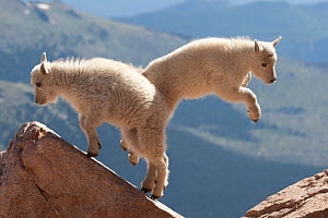 Juvenile Rocky Mountain Goats (Oreamnos americanus) playing on the top of a rocky outcrop. Rocky Mountain national Park, Colorado, USA  -  Charlie Summers