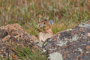 Northern American Pika / Rock rabbit (Ochotona princeps) gathering food for the winter during the short summers months, Colorado, USA, North America  -  Charlie Summers