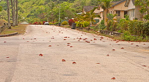 Red Land Crabs (Gecarcoidea natalis) crossing suburban road on migration, Christmas Island, South East Asia  -  Charlie Summers