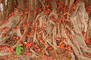 Red Land Crabs (Gecarcoidea natalis) crawling over roots of tree, on their migration pathway from the forests to coast, Christmas Island, South East Asia  -  Charlie Summers