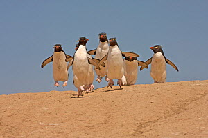Group of Rockhopper Penguins (Eudyptes chrysocome) making their way from the nesting colony to the sea. Pebble Island, Falkland Islands  -  Charlie Summers