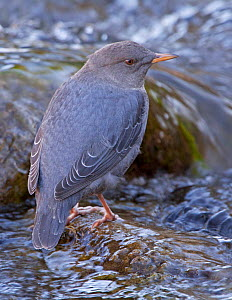 Portrait of an American Dipper / Water Ouzel (Cinclus mexicanus) standing on a rock in a fast flowing water, Gardner River, Yellowstone National Park, Montana, USA, North America  -  Charlie Summers