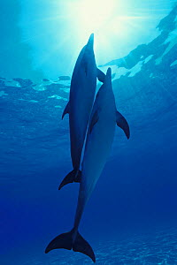 Atlantic Spotted Dolphins (Stenella frontalis) pair swimming towards surface, Bahamas, Atlantic Ocean.  -  Brandon Cole