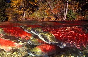 Sockeye Salmon (Oncorhynchus nerka) spawning group in river British Columbia, Canada. - Brandon Cole