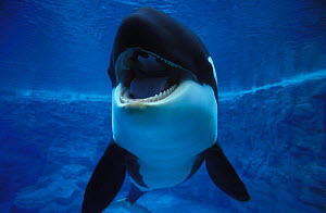Orca / Killer whale (Orcinus orca), captive animal, aquarium photo.  Not available for ringtone/wallpaper use.  -  Brandon Cole
