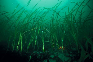 Eelgrass (Zostera sp) growing on the seabed,  California, USA, Pacific Ocean.  -  Brandon Cole