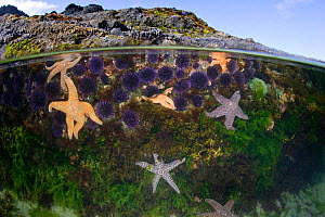 Split level view of a tidepool, marine life includes Ochre sea stars (Pisaster ochraceus), Purple sea urchins (Stronglyocentrotus purpuratus) and various algaes. Oregon Coast, USA, Pacific Ocean. - Brandon Cole
