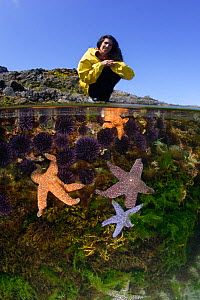 Woman (model released) explores tidepools exposed during a summer's extreme low tide. Split level view of a tidepool, marine life includes Ochre sea stars (Pisaster ochraceus), Purple sea urchins (Str...  -  Brandon Cole