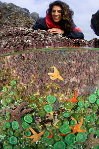 Woman (model released) explores tidepools exposed during a summer's extreme low tide. Split level view of a tidepool showing Ochre sea stars (Pisaster ochraceus), Giant green sea anemones (Anthopleura...  -  Brandon Cole
