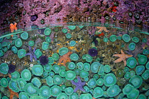 Split level view of a tidepool showing Ochre sea stars (Pisaster ochraceus), Giant green sea anemones (Anthopleura xanthogrammica) and Purple Sea Urchins (Stronglyocentrotus purpuratus). Oregon Coast,...  -  Brandon Cole