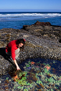 Woman (model released) explores tidepools exposed during a summer's extreme low tide. containing Ochre sea stars (Pisaster ochraceus), Giant green sea anemones (Anthopleura xanthogrammica) and Purple... - Brandon Cole