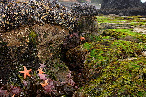 Summer's low tides reveal marine life in tidepool mini-ecosystems, including Ochre Sea Stars (Pisaster ochraceus), California Mussels (Mytilus californianus), barnacles, and a wide variety of algaes.... - Brandon Cole
