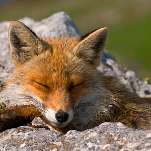 Red fox (Vulpes vulpes) sleeping, Pollino National Park, Basilicata, Italy, May 2009  -  Wild Wonders of Europe / Müller