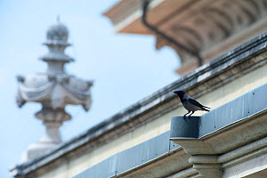 Hooded crow (Corvus cornix) perched on church building in the Vatican garden, Rome, Italy, March 2010 - Wild Wonders of Europe / Geslin