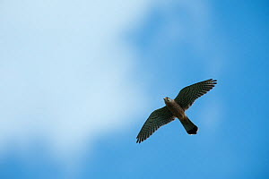 Kestrel (Falco tinninculus) in flight, Vatican garden, Rome, Italy, March 2010 - Wild Wonders of Europe / Geslin