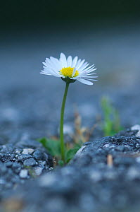 Common daisy {Bellis perennis} flowering through asphalt in the Vatican garden, Rome, Italy - Wild Wonders of Europe / Geslin