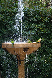 Monk parakeets (Myiopsitta monachus) at fountain in the Vatican garden, Rome, Italy - Wild Wonders of Europe / Geslin