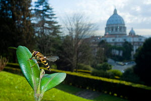 Yellow-legged moustached icon hoverfly (Syrphus ribesii) resting on leaf in the Vatican garden with St Peter's in the background, Rome, Italy, March 2010 - Wild Wonders of Europe / Geslin