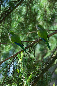Monk parakeet (Myiopsitta monachus) pair perched in tree in the Vatican garden, Rome, Italy, March 2010 - Wild Wonders of Europe / Geslin