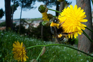 White tailed bumblebee (Bombus lucorum) collecting nectar from Dandelion flower (Taraxacum officinale) in the Vatican garden, Rome, Italy, March 2010  -  Wild Wonders of Europe / Geslin