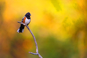 A Spotted Towhee (Pipilo maculatus) singing in summer at sunset, Eaton Canyon, California, USA.  -  Floris van Breugel