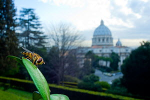 Yellow-legged moustached icon hoverfly (Syrphus ribesii) resting on plant in the Vatican garden with St Peter's in the background, Rome, Italy, March 2010 - Wild Wonders of Europe / Geslin