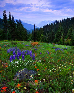 Two Mule deer (Odocoileus hemionus) grazing in willdflower meadow, Hurricane Ridge, Olympic National Park, Washington, USA. July 2008. - Floris van Breugel
