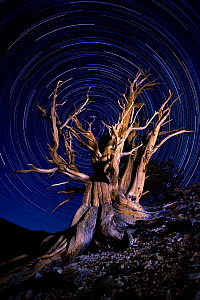 An ancient Bristlecone Pine tree (Pinus aristata) under a clear star-lit night sky with star trails, White Mountains, California, USA. July 2007.  -  Floris van Breugel