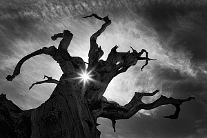 Ancient Bristlecone Pine tree (Pinus aristata) with sunlight shafts beaming through silhouetted gnarled branches, White Mountains, California, USA. July 2007. - Floris van Breugel