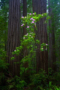 Trunks of Californian Redwood trees (Sequoia sempervirens) and blooming Rhododendron, Redwood National Park, Califorina, USA, June 2008.  -  Floris van Breugel