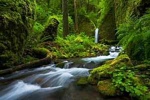 Colombia River Gorge, with green mosses and diverse array of vegetation in the surrounding forest, Spring, Oregon, USA, June 2008. - Floris van Breugel