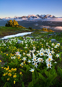 Avalanche lilies (Erythronium montanum) blooming in colourful alpine meadow, with glaciated Mount Olympus behind, Olympic National Park's backcountry Bailey Range, Washington, USA. July 2008.  -  Floris van Breugel