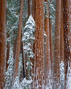 A winter blanket of snow covers Giant Redwood trees (Sequoia sempervirens)  Sequoia and King's Canyon National Park, California. December 2008.  -  Floris van Breugel
