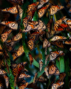 Monarch Butterflies (Danaus plexippus) roosting in winter in dense groups, Southern California, USA - Floris van Breugel