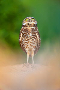 Burrowing Owl (Athene cunicularia) standing at entrance to burrow, and watching a Red-tailed Hawk circling above. Salton Sea, California, USA.  -  Floris van Breugel