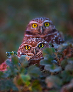 Burrowing Owls (Athene cunicularia) breeding pair standing near the entrance to their burrow, at sunset, Salton Sea, California, USA. - Floris van Breugel