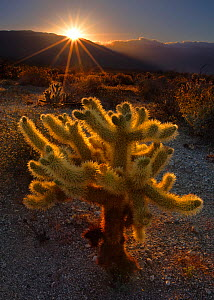Cholla cactus (Opuntia) backlit by setting sun, Anza Borrego State Park. California, USA. April 2009. - Floris van Breugel