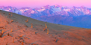 Dead stumps of Bristlecone Pine trees (Pinus aristata) with snow capped White Mountains beyond, California, USA. June 2009.  -  Floris van Breugel