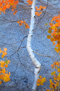 Autumn colours of Aspen tree (Populus tremula) Sierra Nevada, California, USA. September 2009  -  Floris van Breugel
